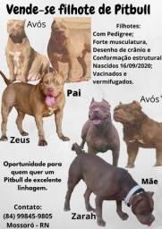 Filhotes de Pitbull - Excelente genética - WhatsApp na foto