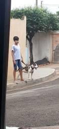 Procura-se macho para cruzar com bull terrier