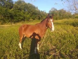 Vende-se cavalo manso