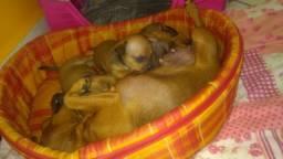 Cachorro pinscher numero 01