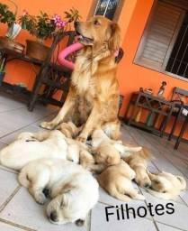Filhotes Golden Retriever