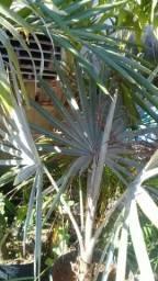 Palmeira bismark azul
