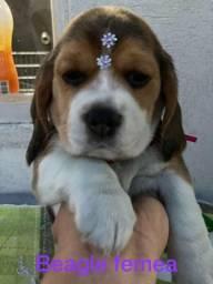 Beagle vacinados e amorosos pra você