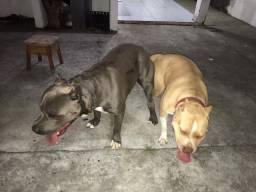 Pit Bull Terrier (Oportunidade, última chamada)