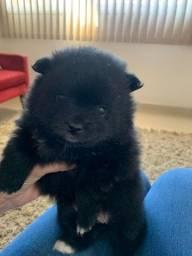 Vendo filhote de Lulu da Pomerania