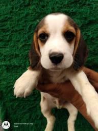 Filhotes Beagles lindos