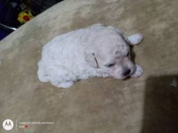 Poodle macho toy