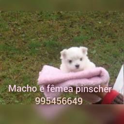 Título do anúncio: Maltês bebezinhos a pronta entrega são ursinhos reais