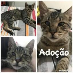 Lindo Gato para adoção