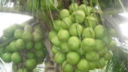 Cocos secos e semntes de cocos anão verde do jequi