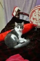 Gato Angora ( Doação )