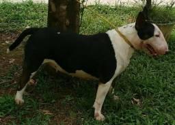 Bull Terrier fêmea castrada com pedigree