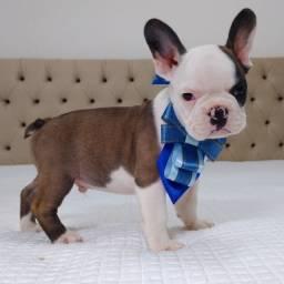 Bull dog francês