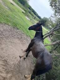 Troco potro crioulo puro por bom cavalo ou égua mansa