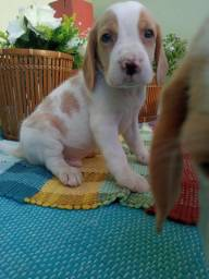 Beagles fofos