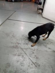 Doação Responsável Rottweiler, Caxias do Sul - RS