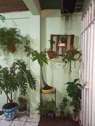 BELÍSSIMO bonsai Samaúma
