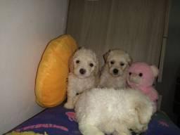 Filhotes Poodles Disponiveis