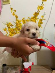 Título do anúncio:  Vendo filhotes poodle fêmea n 1