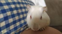 Vendo porquinho da índia albino