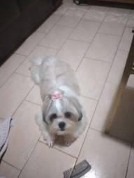 Título do anúncio: Vendo cadela shitzus adulta