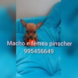 Título do anúncio: Pinscher zero lindos bb
