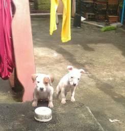 Vendo filhotes de pitbull América terrier puros de pai e mãe