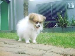 Pups pet temos spitz