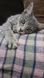 Lindo Gato Macho Cinza