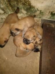 Cães da raça chow-chow