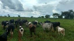 Vacas Leiteiras Girolandas, Todas De IA ( Inseminação Artificial)