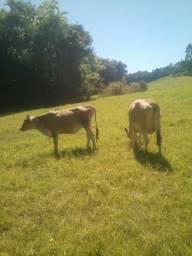 Vendo ou troco vacas por carro