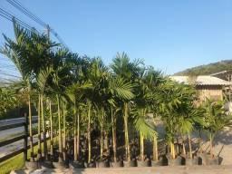 Palmeira veit