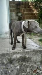 Pitbull blues nose,fêmea 4 mês