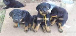 Filhote de Rottweiler 800 cada