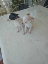 Chihuahua macho e fêmea