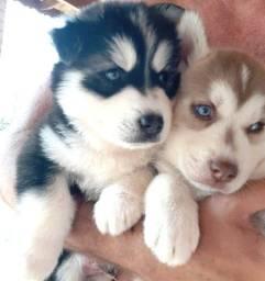 Título do anúncio: Vendo filhotes de husky siberiano com 45 dias