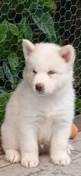 Lindos Filhotes de Husky Siberiano