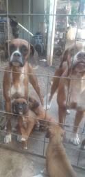 5 filhotes Boxer