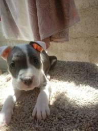 Título do anúncio: Filhote disponível de pitbull