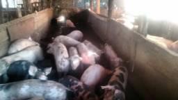 Carneiro Leitoa e porco para as festas de fim de ano