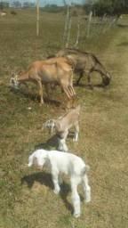 Vende cabras leiteira de raças 350$