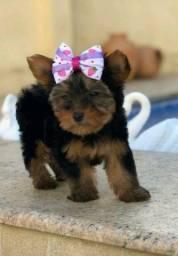 Yorkshire Terrier Presentei quem vc ama bbs lindas