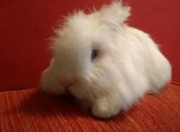 Casal coelhos ANGORÁ INGLÊS