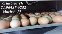 Ovos galados de Índio Gigante