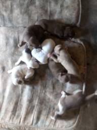 Filhotes de pit bull