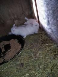 Vendo filhotes de mini coelho/ Lion com Ted