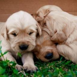 Filhotes de Goldens lindos