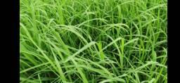 Feno de grama tifiton