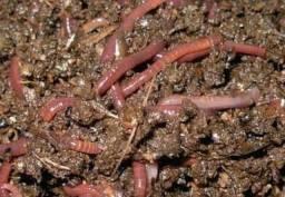 50 minhocas vermelhas californianas compostagem